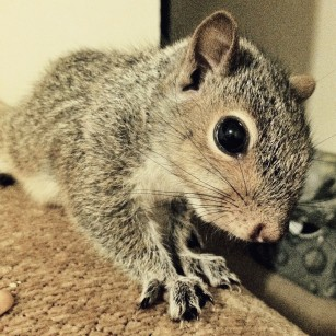 Baby Grey Squirrel closeup