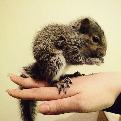 Baby Grey Squirrel sitting on my hand