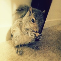Baby Grey Squirrel eating
